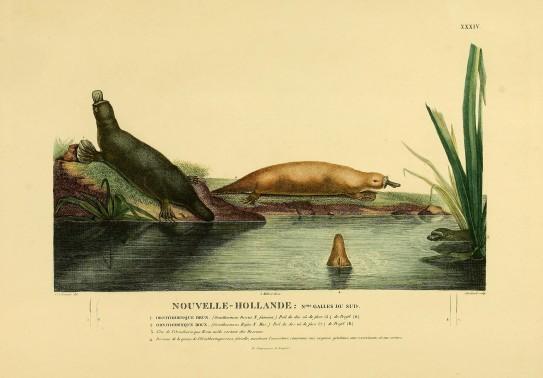 Planche extraite de Voyage de découvertes aux terres australes